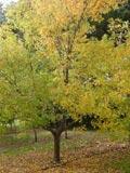 Acer-buergeranium | Trident Maple