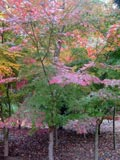 Acer-palmatum | Japanese Maple
