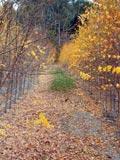 Betula pendula | Silver birch