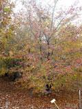 Crataegus phaenopyrum | Washington hawthorn