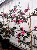 Espalier camellia