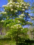 Fraxinus ornus | Manna ash