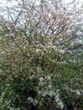 Malus floribunda | Japanese flowering crab apple