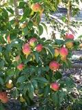 Malus species | Eating apple