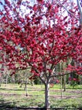 Malus spectablis | Chinese flowering crab apple