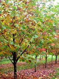 Platanus orientalis | Oriental plane tree