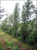 Populus simonii & Populus yunnanensis | Poplars