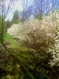 Prunus elvins | Elvins plum