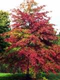 Quercus palustris | Pin oak