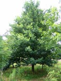 Quercus robur | English oak
