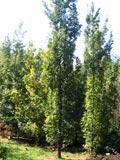 Quercus robur 'Fastigiata | Cypress oak