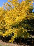 Robinia frisia | Golden Robinia