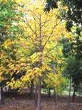 Sorbus acuparia | Mountain Ash