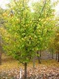 Ulmus glabra 'Lutescens' | Golden Wych Elm