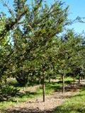 Ulmus parvifolia | Chinese Elm